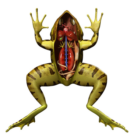 dissection: Frog anatomy Stock Photo