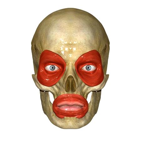 Facial muscles photo