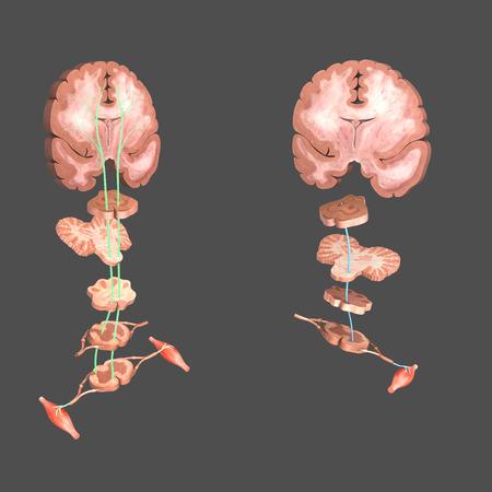 auditory: Motor areas of brain