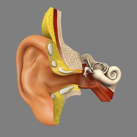 oreja: Anatom�a del o�do