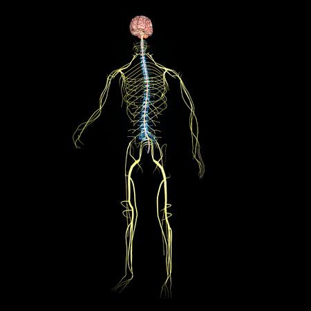 3D Gerendert Illustration - Männliche Nervensystem Lizenzfreie Fotos ...