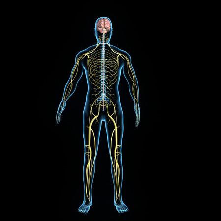Del sistema nervoso Archivio Fotografico - 33658625