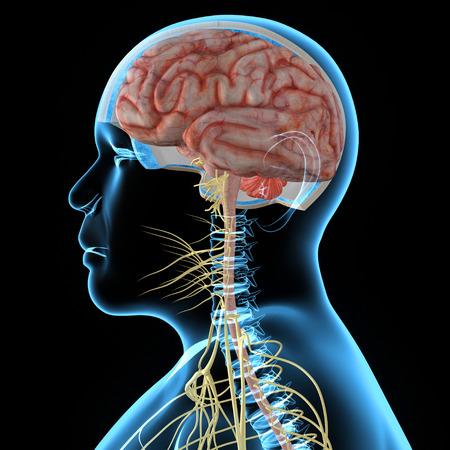 Nervous system photo