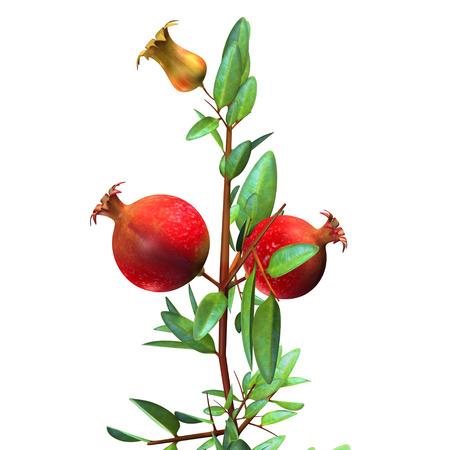 granatum: Punica Granatum