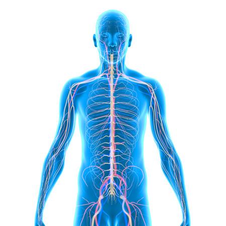 Rückansicht Weibliche Nervensystem Auf Schwarzem Hintergrund ...