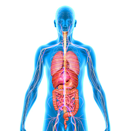 digestive system: Human organs Stock Photo