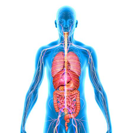 Les organes humains Banque d'images