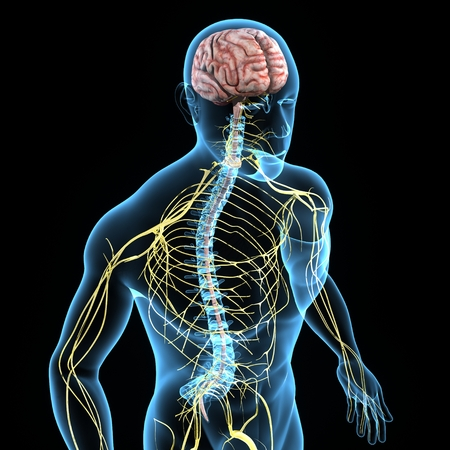 Nervous System Stock Photo - 33607806