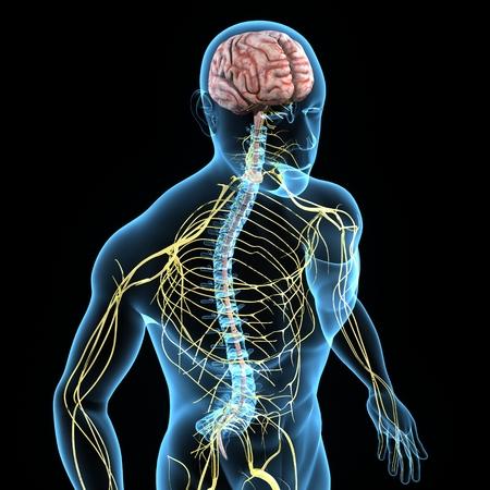 nerveux: Syst�me nerveux
