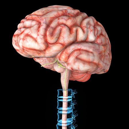 central cord: Brain with backbone