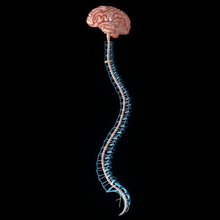 vertebral column: Brain with backbone