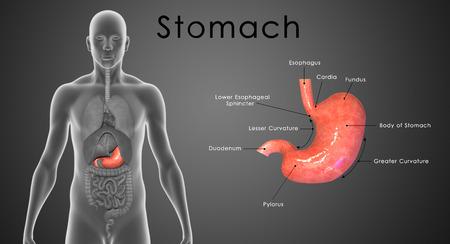 ácido: Estómago
