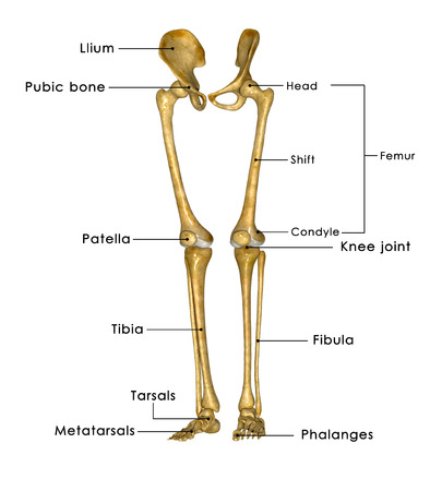 knees bent: Skeleton legs