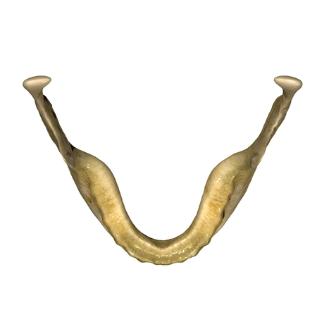 jaw: Skeleton jaw Stock Photo