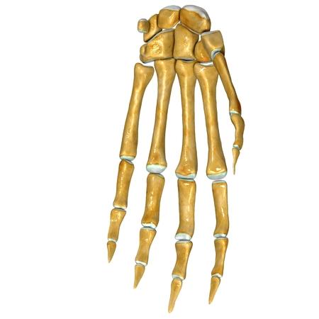 Skeleton arm photo