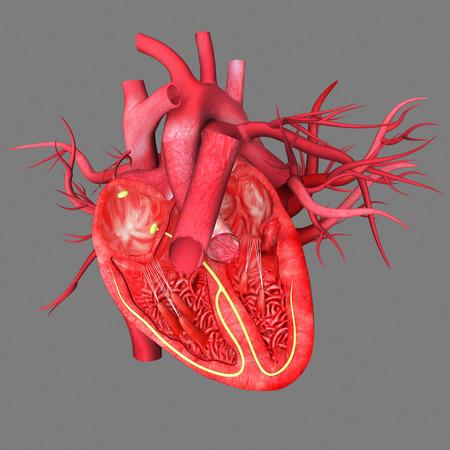 corazon humano: Coraz�n Humano Foto de archivo