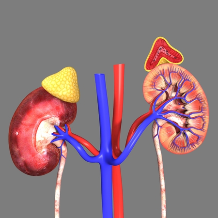 dialysis: Kidneys Stock Photo
