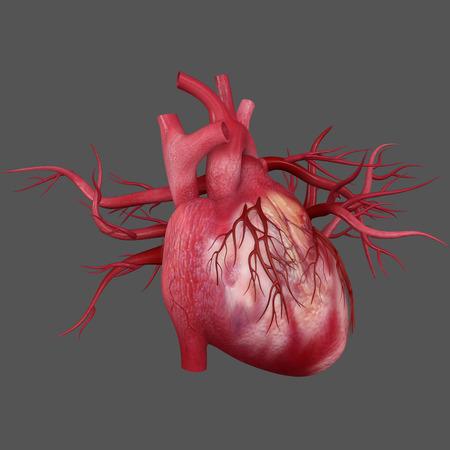 alveolus: Human Heart