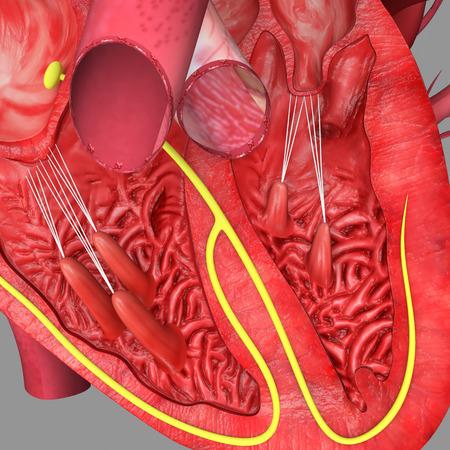 left atrium: Heart intersection