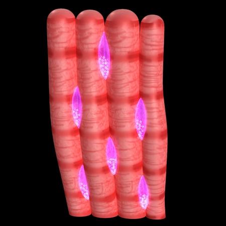 nuclei: cardiac muscle