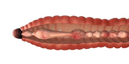lombriz: Anatom�a Lombriz