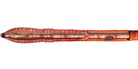 earthworm: Earthworm Anatomy Stock Photo
