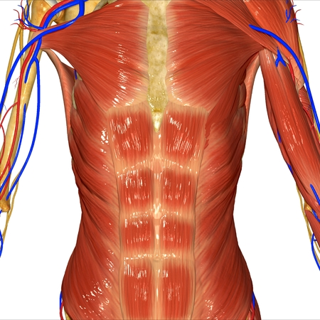 muscular: Muscular System Stock Photo