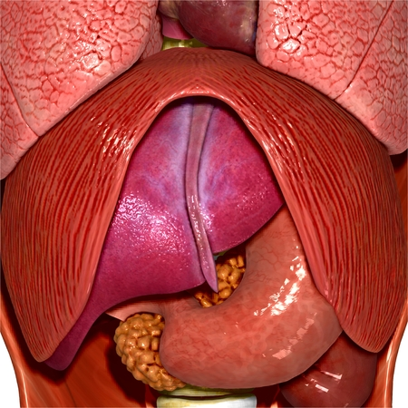 Human organs photo