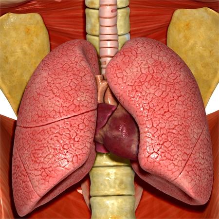 aparato respiratorio: Los pulmones y el corazón humano Foto de archivo
