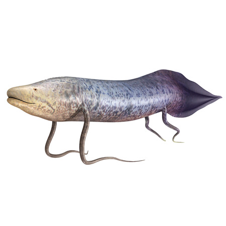 lungfish: Protopterus ( African lungfish)