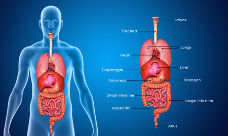human lungs: Organs
