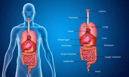 esofago: Órganos Foto de archivo