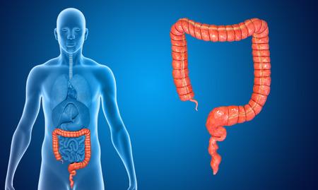 Large intestine photo