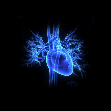 the human heart: Coraz�n Humano Foto de archivo