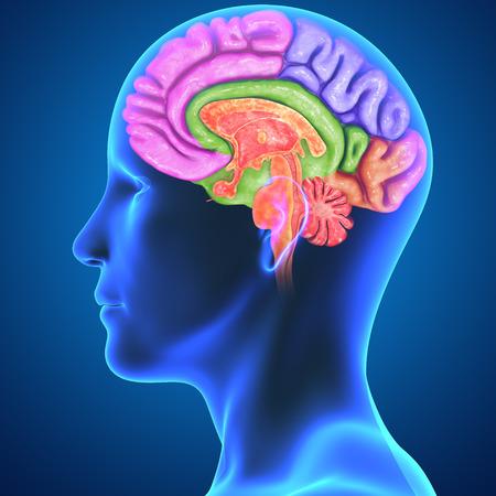 temporal: Brain parts Stock Photo