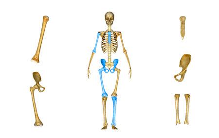 Skeleton parts photo