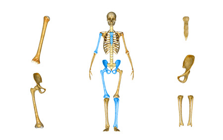 Skeleton Parts Stock Photo, Picture And Royalty Free Image. Image ...