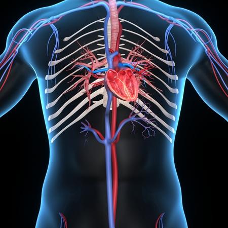 right coronary artery: Human Heart Anatomy