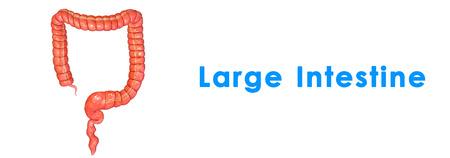 appendix: Large intestine