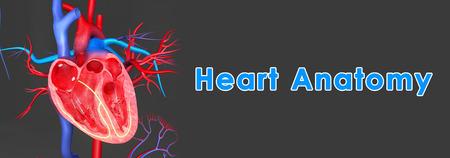heart anatomy photo