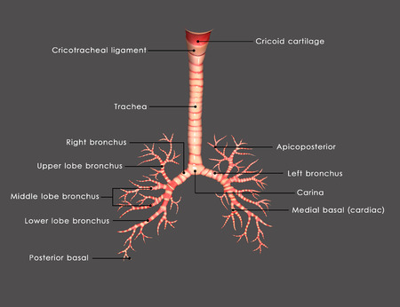 bronchiole: trachea Stock Photo