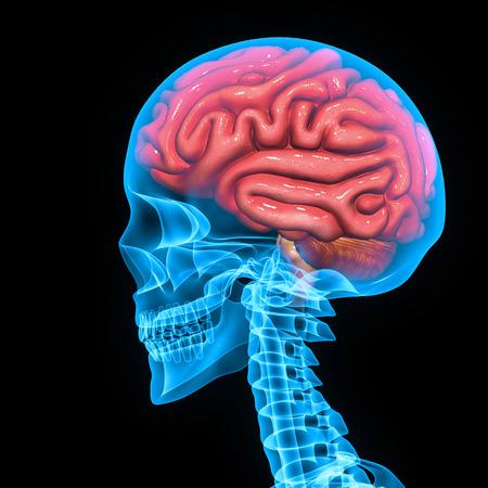 lateral cord: Brain Stock Photo