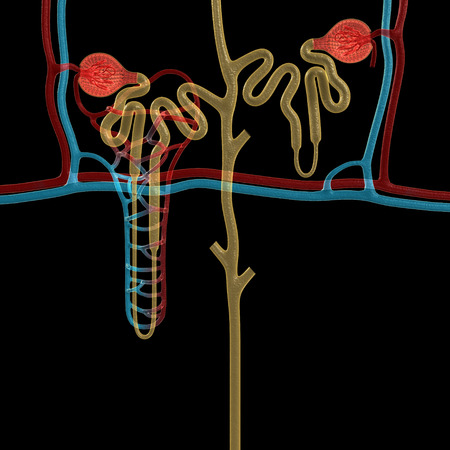 tubule: nephron Stock Photo