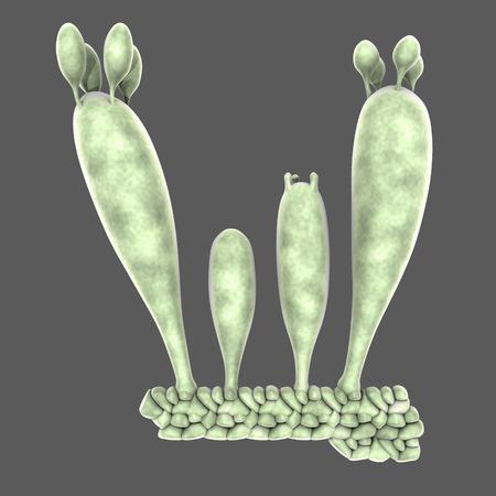 morel: Basidiospores