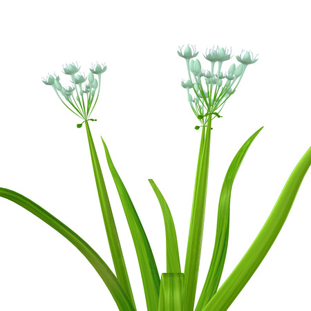 allium cepa: Allium cepa Stock Photo