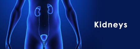 renal stone: Kidneys Stock Photo