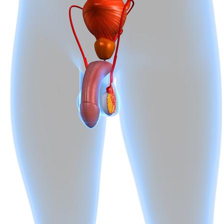 urogenital: Sistema reproductor masculino