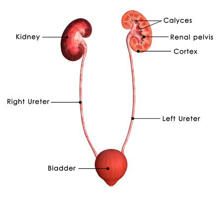 Kidneys Stock Photo