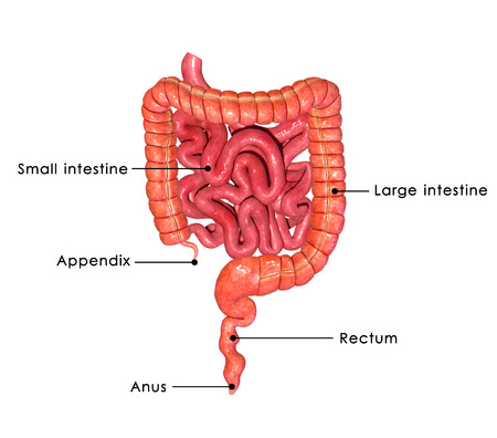 from small bowel: Digestive system
