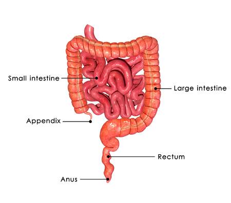stoma: Digestive system